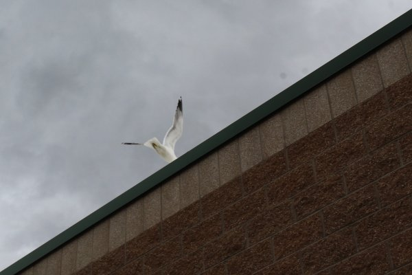 Seagull flying away after stealing a fish stick from a student's lunch.